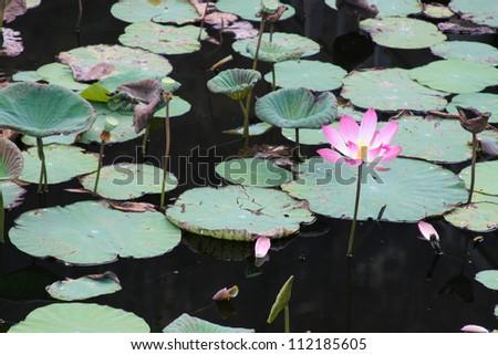 Pink lotus in lake (Lotus is logo of buddhism in asia) - stock photo
