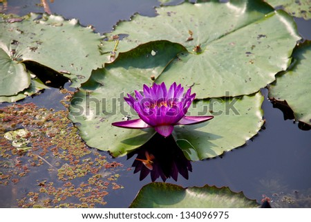 Pink Lotus in pond