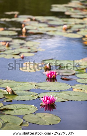 Pink lotus in the lake - stock photo