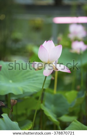 pink lotus in the lake of the garden