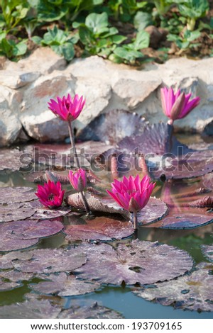 Pink lotus in the lake with natural background - stock photo