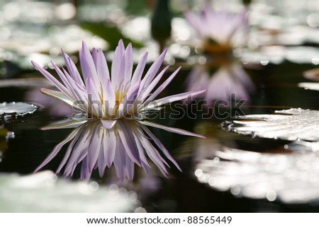 Pink lotus in the pond (Water lily) - stock photo
