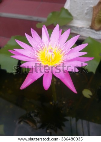 pink Lotus in water for background - stock photo