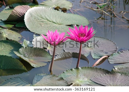 Pink lotus is blooming in the lake. Lotus flower in the farm at daytime. Buddhist give lotus and pray for Buddha. - stock photo