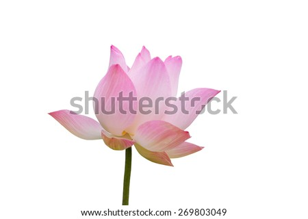 Pink lotus isolated on white background, clipping path included - stock photo