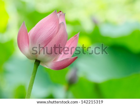 Pink lotus lilies in a field in rural northern Thailand.