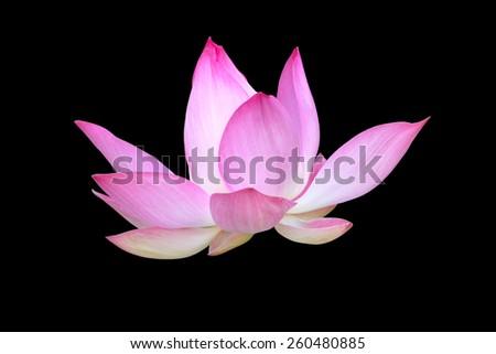pink lotus on black background - stock photo