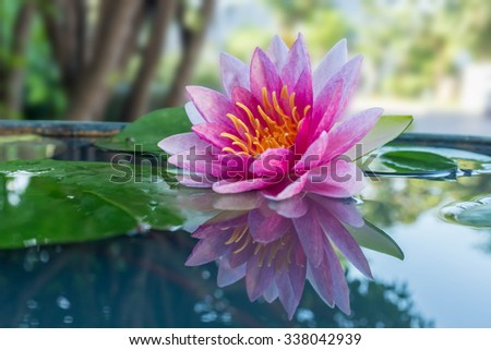 pink lotus or waterlily in pond - stock photo