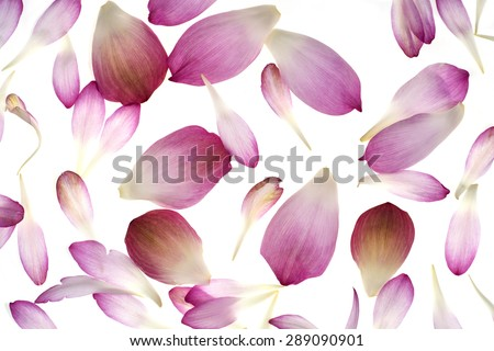 pink lotus petals isolated on white background - stock photo