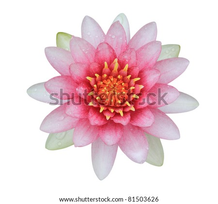 pink lotus (Water Lily) isolated on white background - stock photo