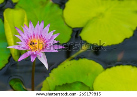 pink lotus with one bee in the pool  nature - stock photo