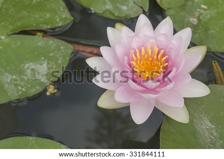 Pink lotus with space on green lotus leaves - stock photo