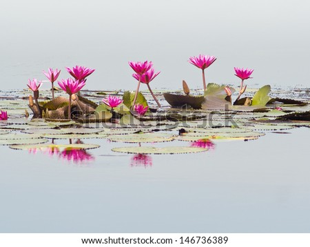 Pink lotuses blooming in marshland.  - stock photo