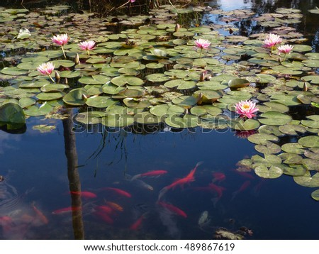Pink lotuses on the water surface