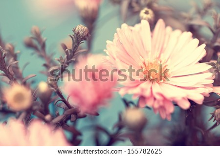 pink lovely autumn aster - stock photo