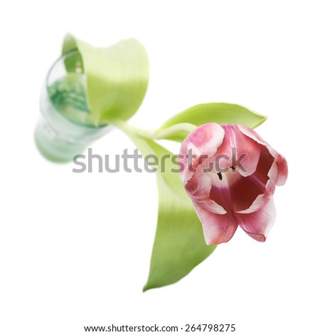 Pink magenta tulip flower in a glass vase isolated over the white background - stock photo