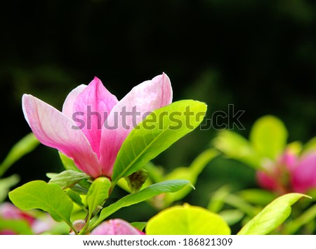 pink magnolia - stock photo