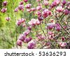 Pink magnolia blooming, shallow depth of field, close-up - stock photo
