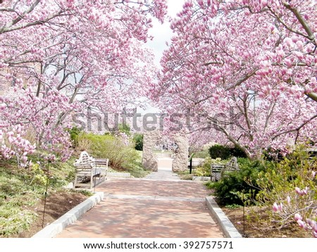 Pink Magnolia Blossoms in garden of Smithsonian in Washington DC, USA - stock photo