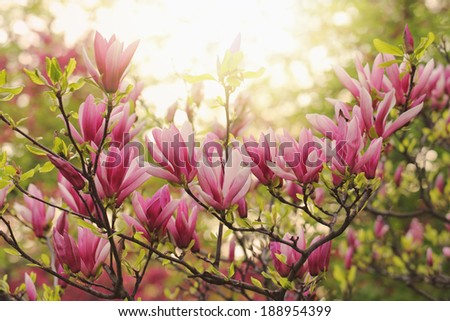 Pink magnolia flower blossoms in April - stock photo