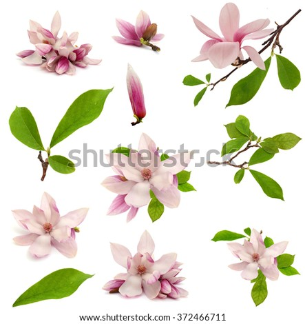 pink magnolia flower isolated on white background  - stock photo