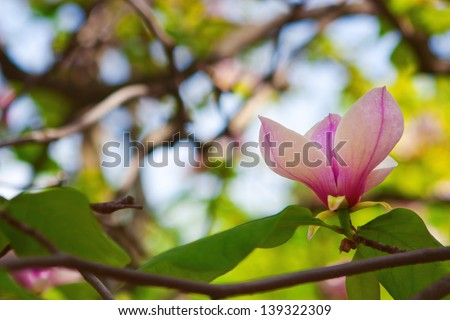Pink magnolia flower on background of green leaves and sky - stock photo