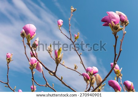 Pink magnolia flowers. Blooming magnolia tree in the spring against blue sky - stock photo