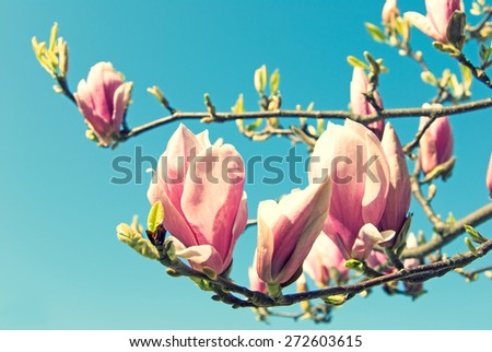 pink magnolia tree in front of blue sky - stock photo