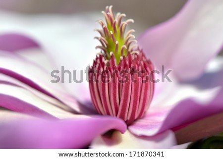 pink magnolia with large flowers  - stock photo