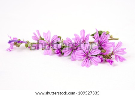 Pink mallow flower isolated on withe background - stock photo