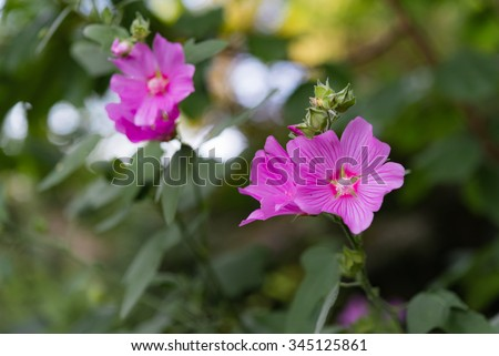 Pink malva flowers and buds in summer garden against bokeh background.  Decorative magenta blossoms and green leaves, perfect for gardening blogs and magazines - stock photo
