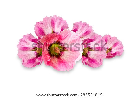 Pink malva silvestris flower on a white background, clipping pat - stock photo