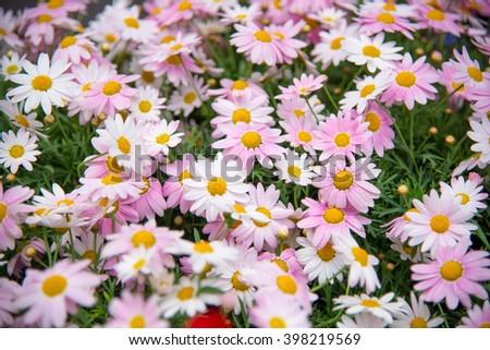 Pink marguerites - stock photo