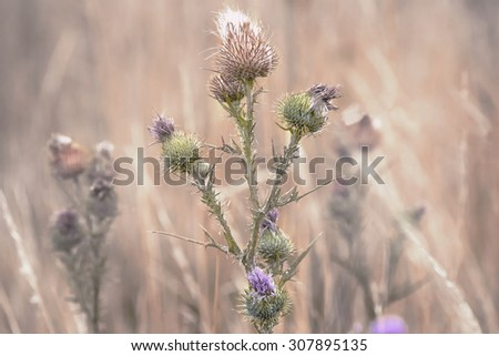 pink milk thistle flower in bloom in summer morning - stock photo