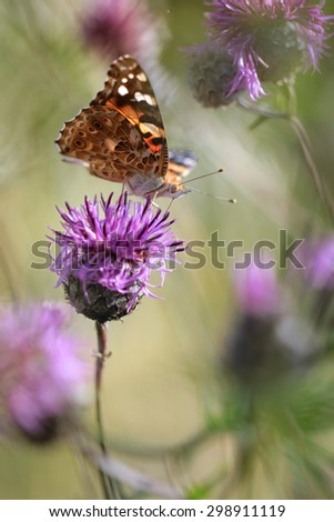 pink milk thistle flower in bloom with butterfly - stock photo