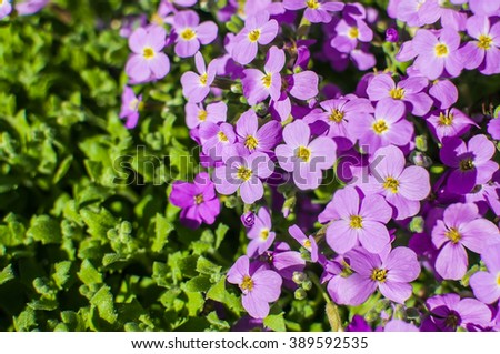 Pink moss phlox flowers and green leaves