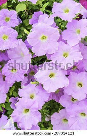 Pink multiflora petunias in garden, summer in northern Illinois - stock photo
