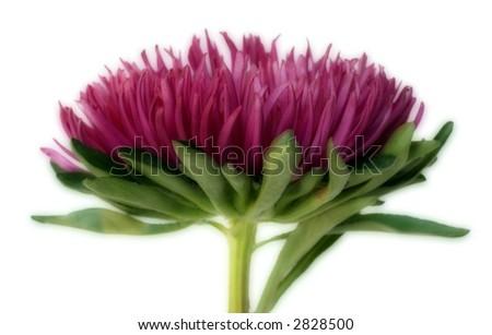 pink mum - stock photo