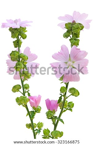 Pink Musk Mallow Malva moschata flower plant