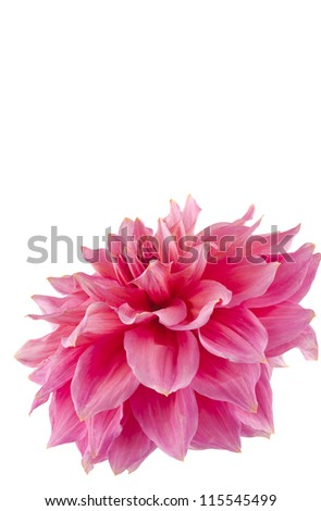 pink of a dahlia isolated on white background - stock photo