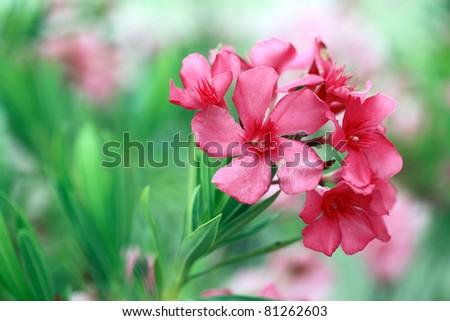 Pink Oleander Flower: closeup shot of pink flowers on oleander shrub. - stock photo