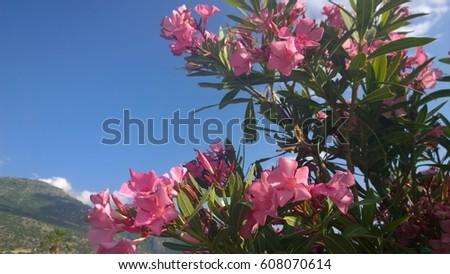Pink oleander flowers turkey stock photo royalty free 608070614 pink oleander flowers turkey mightylinksfo