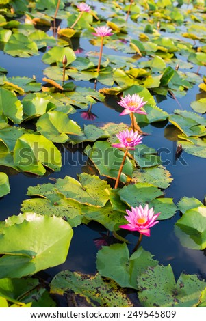 Pink or purple Lotus group flower with green leaf in swamp or pond at the north of Thailand as a background - stock photo
