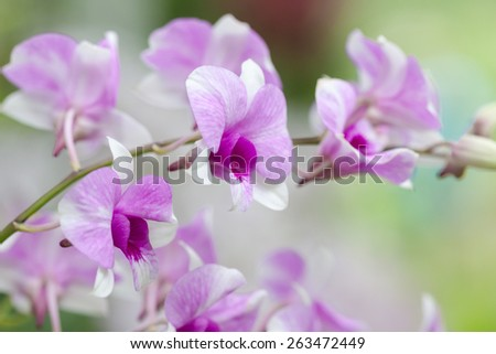 pink or violet phalaenopsis orchid flower - stock photo