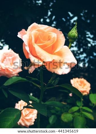 Pink orange Rose in garden in Portland Oregon - stock photo