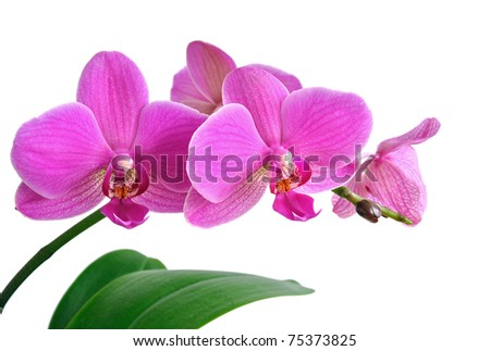 Pink Orchid - stock photo