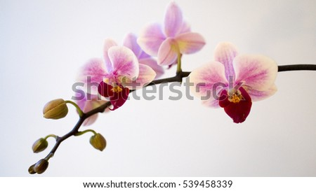 Pink Orchid Bloom in Space
