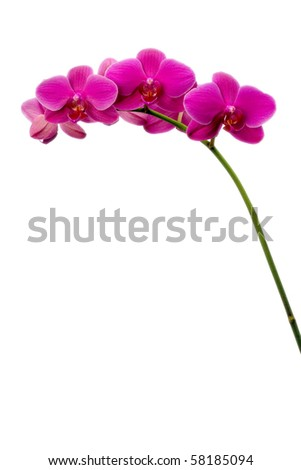 Pink Orchid blossoms isolated against a pure white background, plenty of room for text or graphics - stock photo