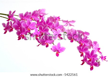 Pink orchid blossoms on white background - stock photo