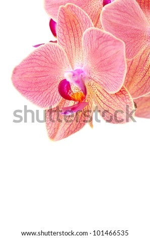 Pink orchid, closeup, on white background - stock photo